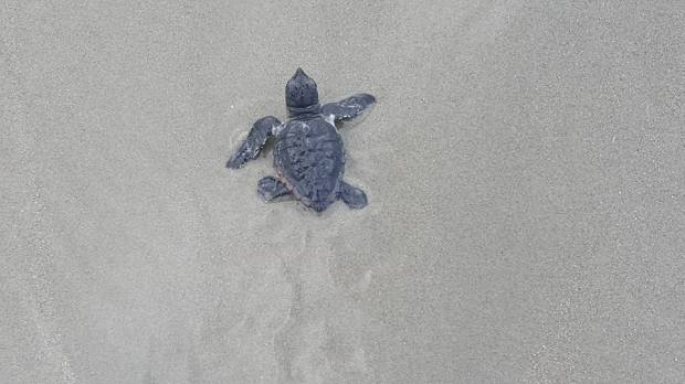 Baby sea turtle hatched at Kiawah