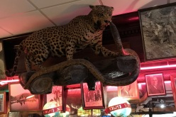 Leopard over the bar