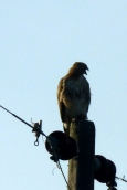 Saw this mighty hawk