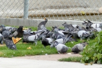 Pigeons having lunch on one side of the fence