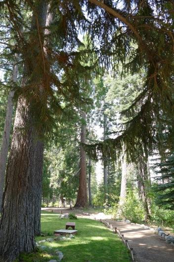 HUGE Ponderosa pines