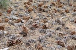 Oh, the pine cones - they were massive and plentiful