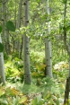 Grove of birch trees