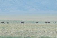 Wild horses on one side of the road